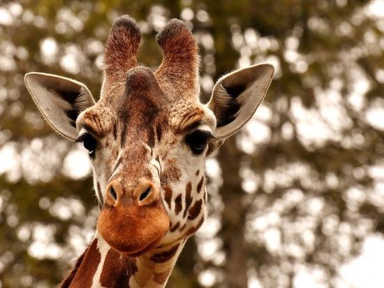 Три жирафа Ротшильда запутались в проводах в Кении