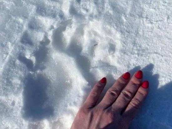 В Хакасии медведь-шатун бродит вблизи Саяногорска
