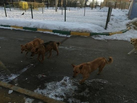 В Оренбуржье участились случаи жалоб на стаи бродячих псов