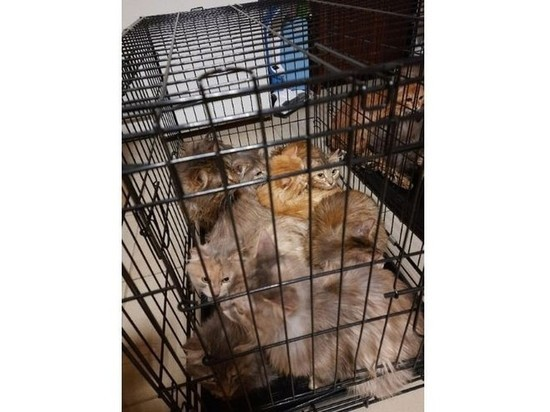 13 кошек спасли зоозащитники и полицейские из квартиры с голодающими животными