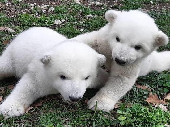 Красноярцам предложили выбрать имена для медвежат Командора Седова