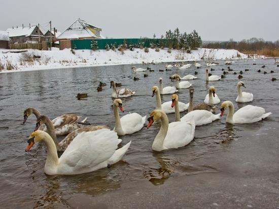 На реке в Тверской области остались зимовать 78 белых лебедей