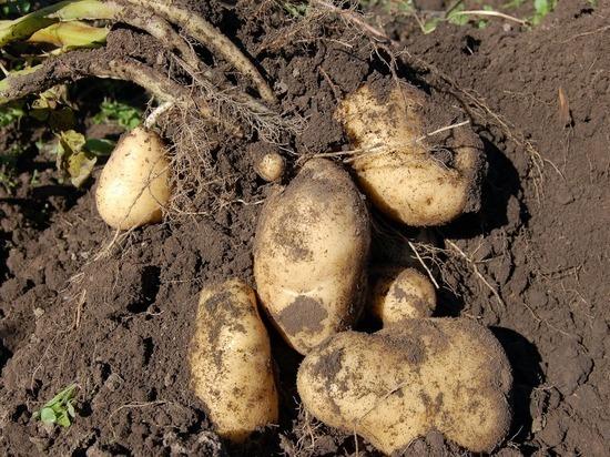 Калужским огородникам расскажут, как правильно выращивать картофель