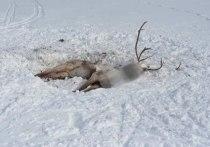 Глава Ямальского района отправился к тундровикам решать проблему гибели оленей из-за голода