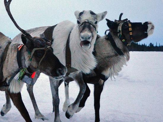 Трое северных оленей прибыли в Удмуртию