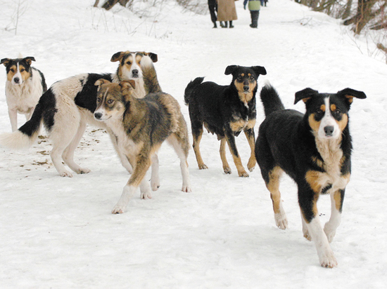 Приютов для содержания уличных псов нет, как и средств на их постройку