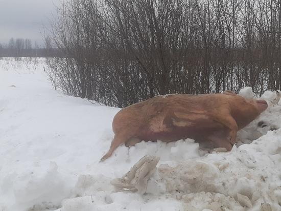 В Калуге найденный труп свиньи проверяют на АЧС