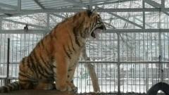 Амурский тигр из барнаульского зоопарка прославился на весь мир тонким пением