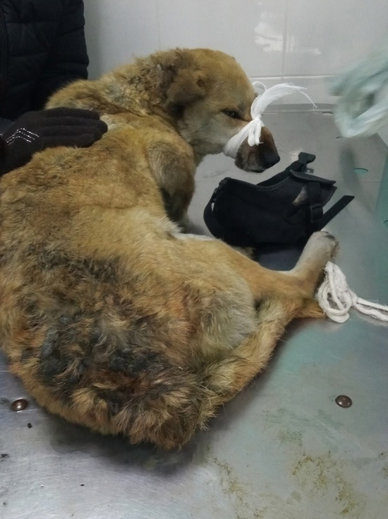 Сбитая поездом собака 4 дня пролежала у железной дороги под Красноярском