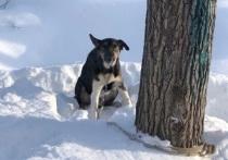 В Томске через неделю умерла собака, которую нашли привязанной к дереву и спасли сердобольные томичи