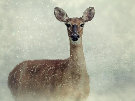 На Алтае браконьеру грозит до пяти лет тюрьмы за отстрел косули