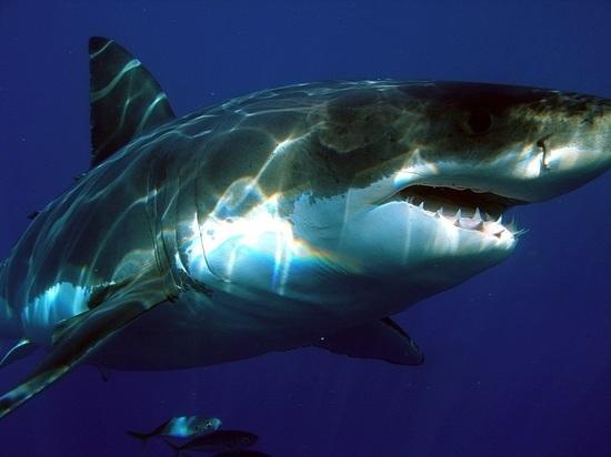 Близ Новой Зеландии обнаружили огромную светящуюся акулу