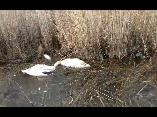 В Дагестанских водоемах массово гибнет птица