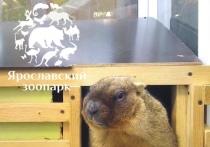 В Ярославском зоопарке сурок объявил весну