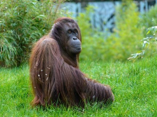 В Сан-Диего от коронавируса привили орангутанов