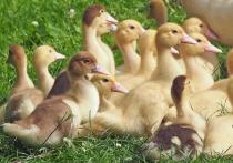 В Удмуртию перелетные птицы могут принести птичий грипп