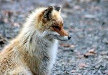 В Белгородской области завершился сезон охоты на пушных зверей
