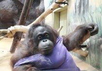 В Ижевском зоопарке орангутану Лоле кавалер подарил цветы в честь 8 марта