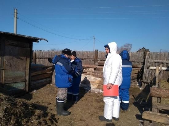 Забирать свиней из частных хозяйств начали в Чите из-за вспышки африканской чумы
