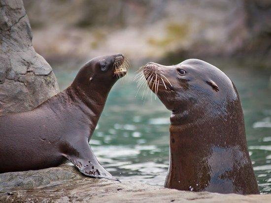 Жители Приморья до смерти затискали детеныша тюленя