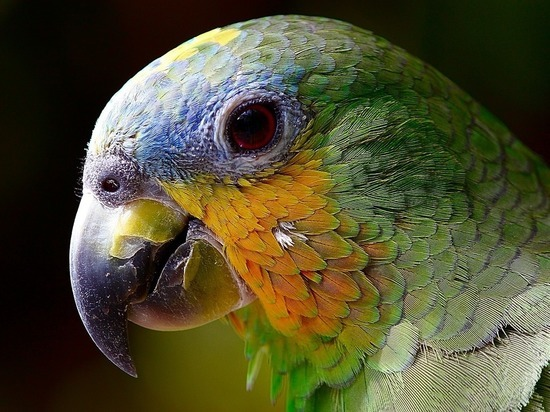 Рубцовчанин решил купить попугая и стал жертвой мошенников