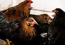 Подтверждено заражение семи астраханцев птичьим гриппом