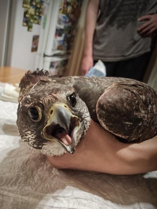 В Барнауле собирают деньги на перевозку раненного сокола редкого вида