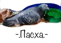 Тульские защитники птиц пристраивают в добрые руки самку сизого голубя. Сизариха Пасха - инвалид, у нее проблемы с координацией и нет пальцев на ноге.