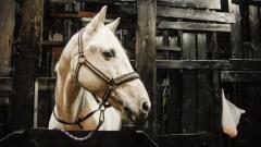Зрителей Ленкома решили удивить Сувениром: видео с красавцем-конем