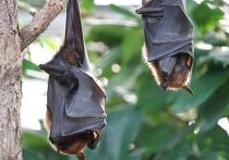Китайская исследовательская группа обнаружила 24 новых коронавируса у летучих мышей в радиусе нескольких километров