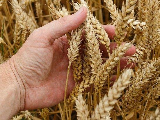 В Татарстане будут производить элитные семена пшеницы