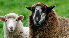 В Хакасии бродячие собаки задрали овец на ферме
