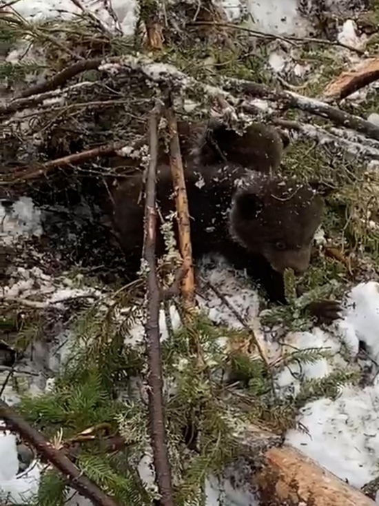 Лесорубы в Вяртсиля испугали медведицу, но спасли медвежат