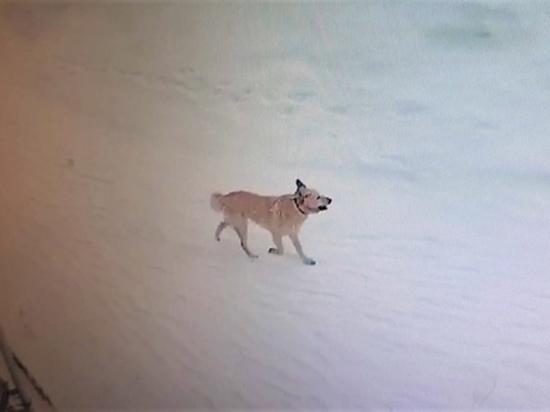 В селе введут карантин: у покусавшей детей собаки в Аксарке подтвердили бешенство