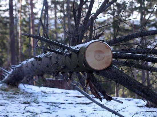 Алтайского чиновника обвиняют в халатности из-за упавшего на девочку дерева