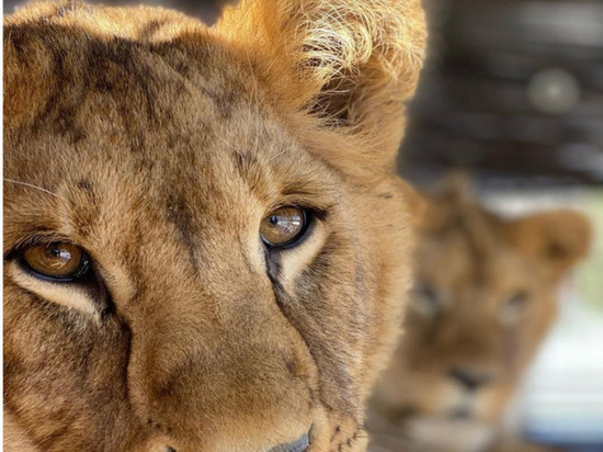Молодые львята и тигренок покинут барнаульский зоопарк
