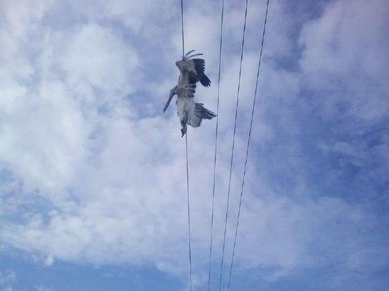 Стала известна причина гибели пеликанов в Дагестане