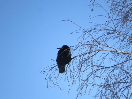 В одном из сел Алтайского края заметили прилетевших с юга грачей