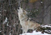 В Невельском районе произошел очередной случая нападения волков
