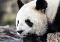 Панда напала на сотрудника зоопарка в Бельгии