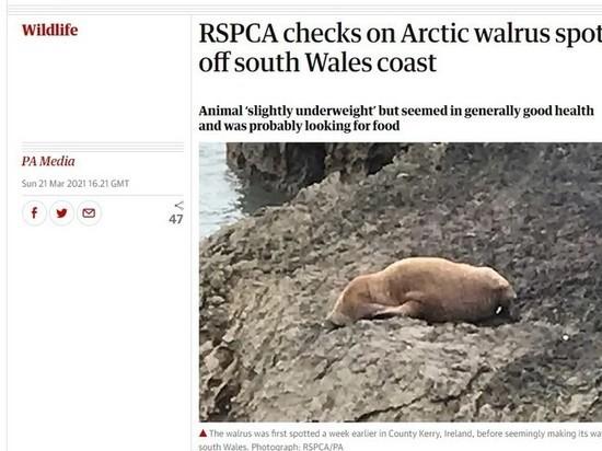 Арктический морж был обнаружен в Великобритании