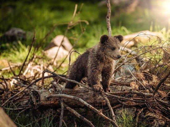 Медвежата-сироты из Карелии прибыли в Тверскую область