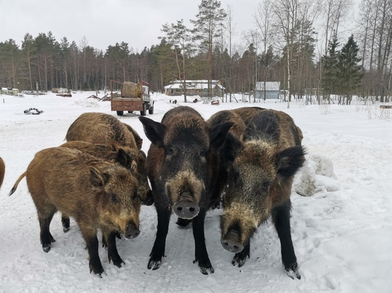 «Шерстяные цыгане»: турист из Петербурга познакомился с карельскими кабанами