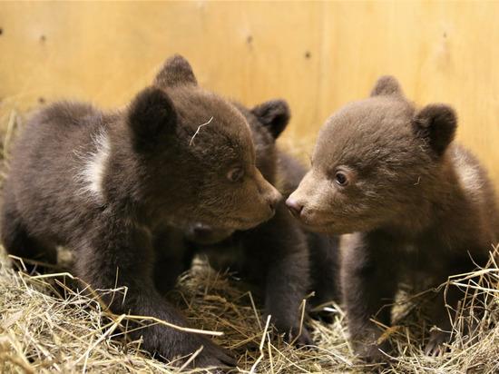 Микли, Савва и Северина: карельские медвежата-сироты получили имена