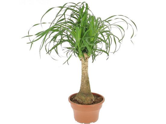 Волгоградцы дорогущее «бутылочное дерево» могут вырастить из семян