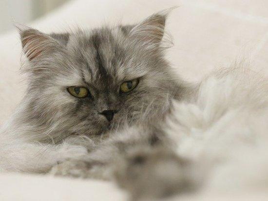 В Кемерове ветеринары спасли проглотившего иголку домашнего кота