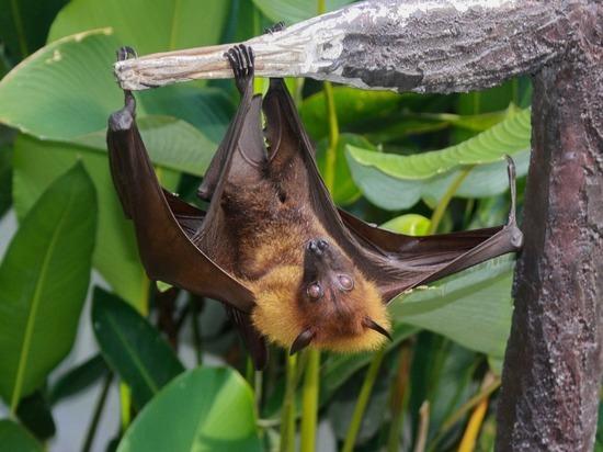 Появилась версия прямой передачи коронавируса человеку от летучей мыши