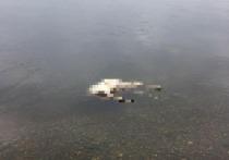 Под Красноярском обнаружили плавающие в Енисее трупы скота