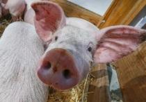 Об опасности чумы свиней напомнили жителям Серпухова
