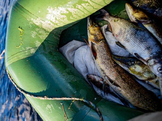С осени для рыбаков-любителей Ямала снимут запрет на добычу пеляди и сига-пыжьяна